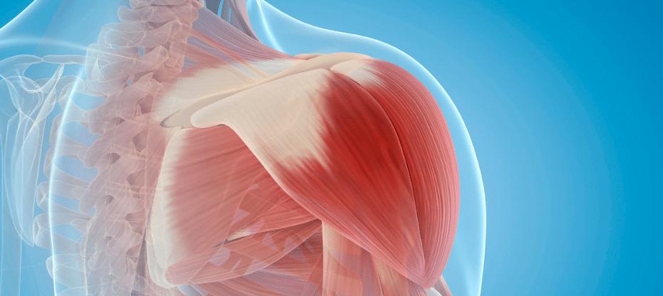 Welke spieren gebruik je op de roeitrainer